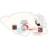 Lo studio NIH sui topi spiega come il cervello può attivare o disattivare i segnali di dolore