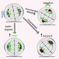 Nuova luce sulla divisione cellulare nei tumori